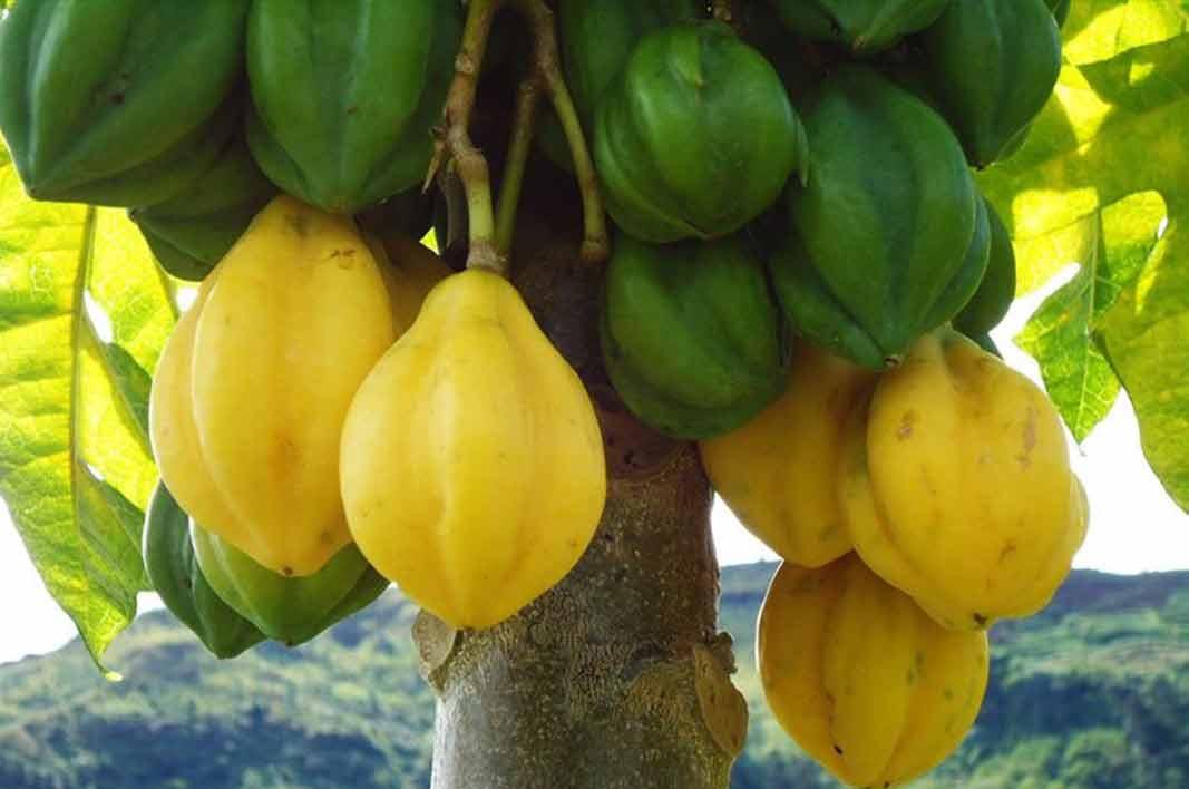 manfaat buah carica