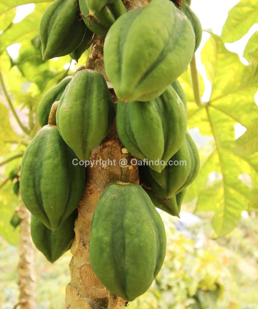 buah carica buah carica Buah Carica Khas Dieng Wonosobo buah carica